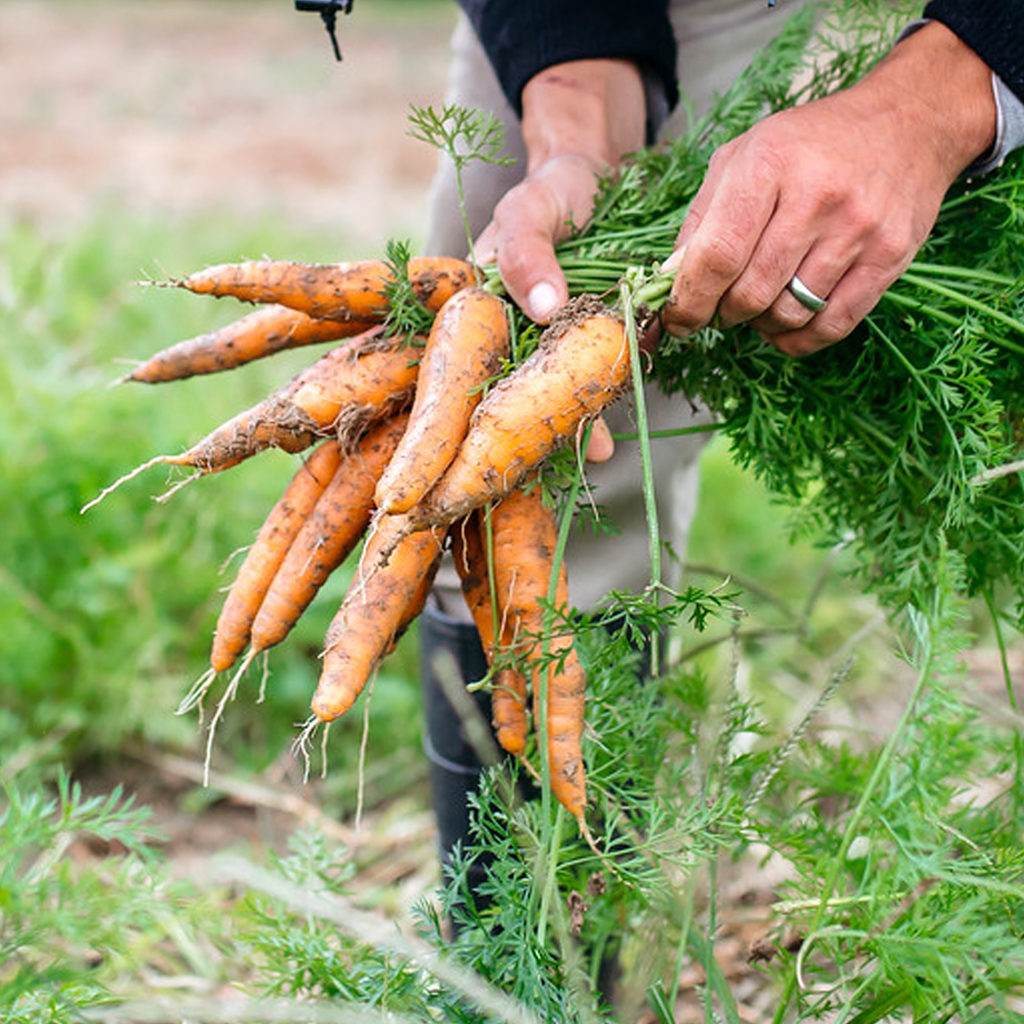 carrots-farm-website-1024x1024